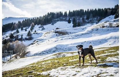 6f885801336 Appenzellský salašnický pes
