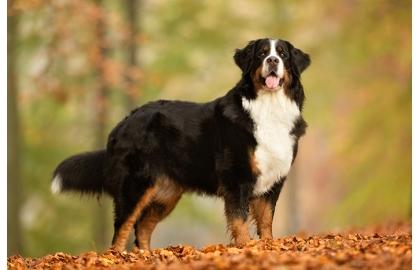 Bernský salašnický pes 🐶  8c63b50e130